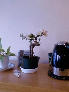 木瓜の花を飾ってある棚